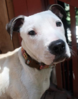 Kiyoko (aka Kiki) is a 6-month old, 22lb sweetheart American Bulldog/Fox Terrier mix. Gets along with dogs big and small, cats, and kids. Uses the dog door Hasn't had any accidents in her temp. foster home Knows basic commands Will use her crate for bedtime