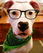 a.baa-Cute-Pitbull-with-glasses